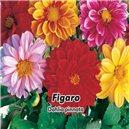 Jiřinka proměnlivá - Figaro - semena 0,8 g
