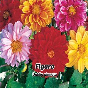 Jiřinka proměnlivá - Figaro ( Dahlia pinnata Cav. )semena 0,8 g