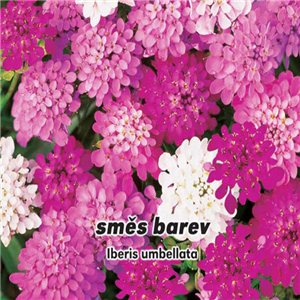 Iberka okolíkatá - karmínová - (kvetina: Iberis umbellata L.) semená 0,3 g