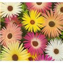 Kosmatec sedmikráskovitý - Zmes farieb - semená 0,3 g