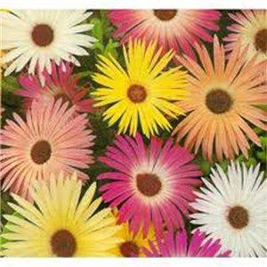 Kosmatec sedmikráskovitý - směs barev - ( Doroteanthus bellidiformis ) semena 0,3 g