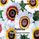 Margarétka maurícijský - Polárka - semená 0,4 g