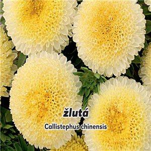 Astra čínská - pomponkovitá - Žlutá ( Callistephus chinensis ) 0,4 g osiva  astry