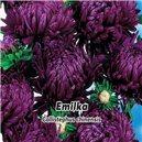 Astra čínska, Pivonkovitá - Emilka - semená 0,4 g