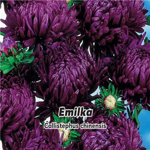 Astra čínska - Pivonkovitá - Emilka (kvetina: Callistephus chinensis) 0,4 g osiva astry