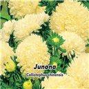 Astra čínska, Pivonkovitá - Junona - semená 0,4 g