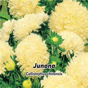 Astra čínská - pivoňkovitá  - Junona ( Callistephus chinensis ) 0,5 g osiva  astry