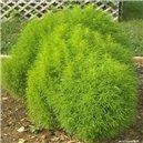 Cypruštek letné - semená 0,4 g