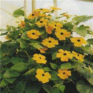 Černooká zuzana - Smatavka ( Thunbergia alata )semena 5 g