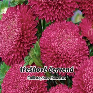 Astra čínska - pomponkovitá - Čerešňovočervená (kvetina: Callistephus chinensis) 0,4 g osiva astry