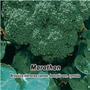 Brokolica F1 - Marathon - semená 30 ks