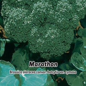 Brokolica F1 - Marathon - (zelenina: Brassica oleracea) semená 30 ks