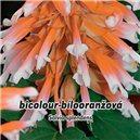 Šalvia ohnivá (poloker - Salvia splendens) - Bicolour, - semená 0,3 g