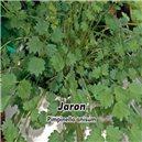Aníz - Bedrovník Aníz (Pimpinella annisum) - Jaron 1, - semená 5 g