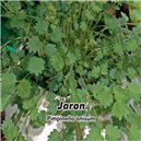 Anýz - Bedrník Anýz (Pimpinella annisum) - Jaron 1, - semena 5 g