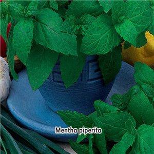 Máta peprná  - ( bylina: Mentha piperita ) semena 0,2 g