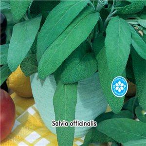 Šalvia lekárska - (bylina Salvia officinalis Linné) semená 0,6 g