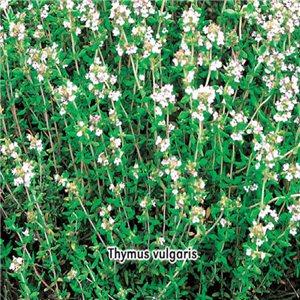 Tymián obyčajný - (korenie: Thymus vulgaris) semená 0,2 g