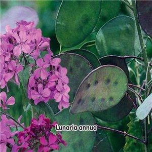 Mesačnica ročná - (Lunaria annua) Perleťové šešule - semená 1 g