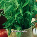 Palina dračia Estragón - semená 0,2 g