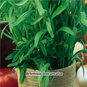 Palina dračia Estragón (bylina: Artemisia dracunculus) - semená 0,2 g