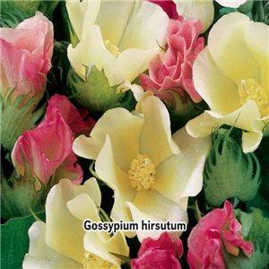 Bavlník 1, - (rastlina: Gossypium) semená 5 g