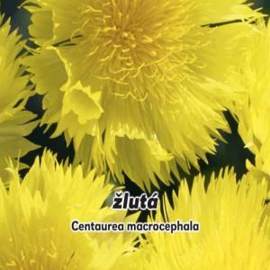 Nevädza velkohlavá (kytička: Centaurea macrocephala) - semená 0,6 g