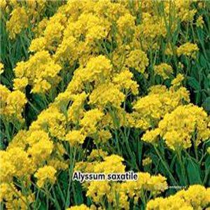 Taričník skalný - (rastlina: Aurinia saxatilis) semená 0,3 g