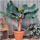 Banánovník Dwarf Cavendish - semienka rastliny 5 ks