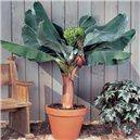 Banánovník Dwarf Cavendish - semínka rostliny 5 ks