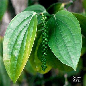 Pepř černý - ( koření: Piper nigrum) semínka rostliny 10 ks