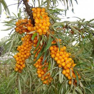 Rakytník rešetliakový - (rastlina: Hippophae rhamnoides) semienka rastliny 10 ks