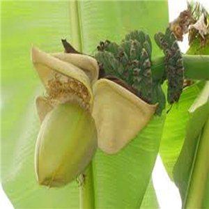 Banánovník Basjoo - (rastlina: musa glaucum) semienka rastliny 5 ks