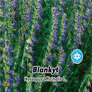 Yzop lékařský - Blankyt (Hyssopus officinalis L. ) semena 0,2 g
