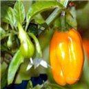 Habanero Chilli - Žlté - semená 10 ks