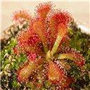 Rosnatka  (drosera venusta) - semínka rostliny 30 ks