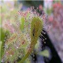 Rosnatka (drosera nidiformis)  30  semen