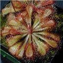 Rosička (Drosera dielsiana) - semienka rastliny 30 ks