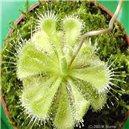 Rosička (Drosera burmannii) - semienka rastliny 30 ks