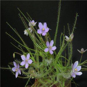 Byblida (Byblis liniflora) 1 - semienka rastliny 5 ks