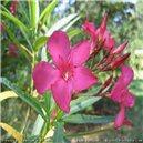 Oleander - (Nerium oleander) semienka rastliny 5 ks