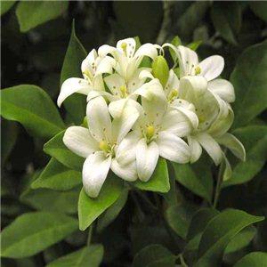 Murraya - ( Paniculata ) - semínka rostliny 5 ks
