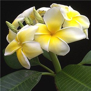 Orchidey - mix kultivarov (plumeria hybrids) 4 semien