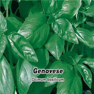Bazalka Genovese - semena 0,4 g