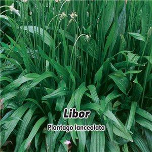 Skorocel - Libor - (Plantago lanceolata) - semená 1 g