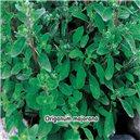 Majorán záhradný - semená 0,4 g