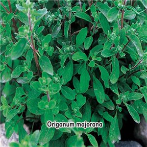 Majorán záhradný - (Organum majorana) - semená 0,4 g