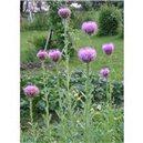 Maralí koreň (Parcha liečivá) - semená 2g