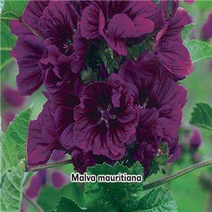 Slez maurský - (Malva mauritiana) - semená 1,2 g