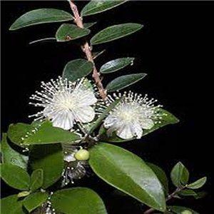 Myrta obyčajná - (Myrtus) - semená 5 ks